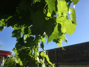 Orn Grape