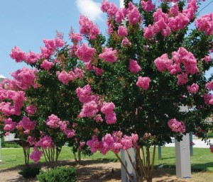lagerstroemia_indica_x_faurii_sioux